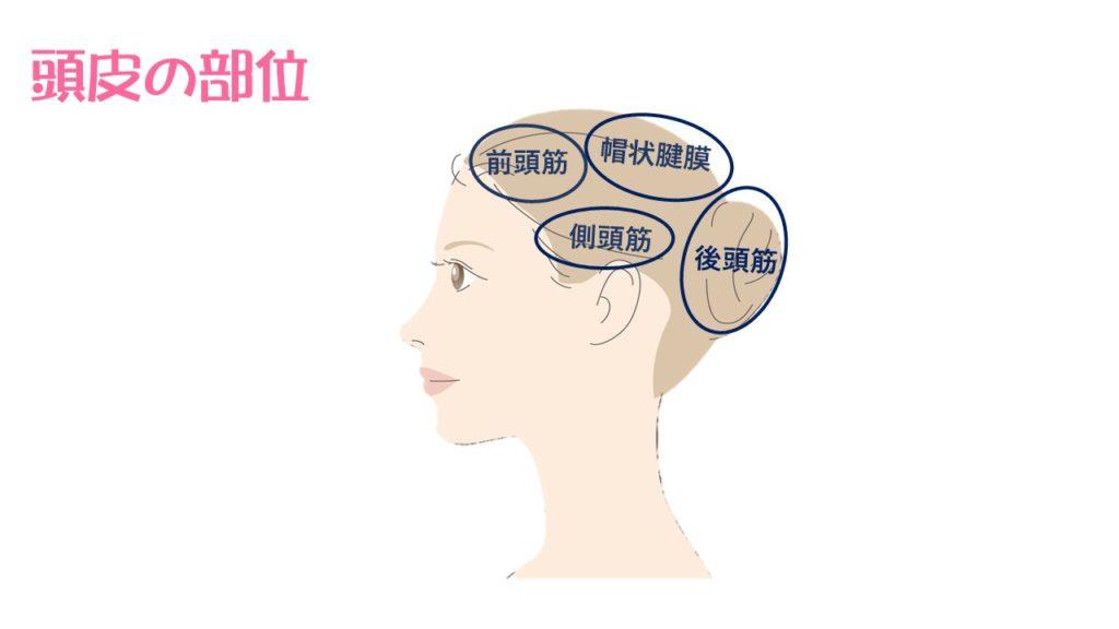 頭皮の筋肉